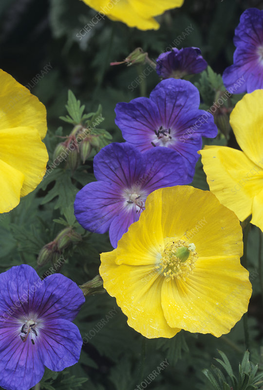 Cranesbill and Iceland poppy flowers