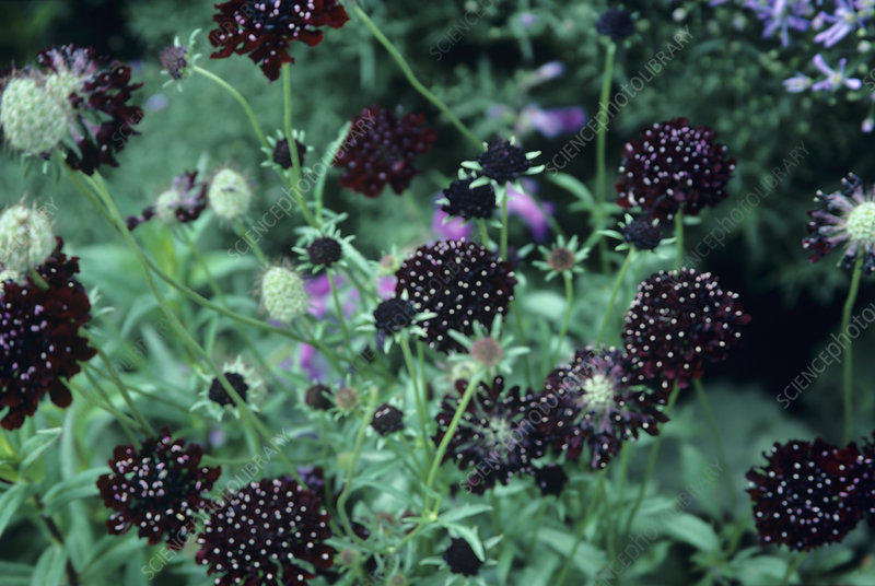 Scabiosa 'Ace of Hearts' flowers