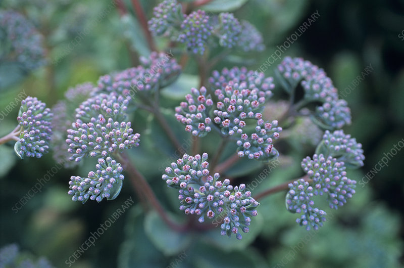 Stonecrop flowers (Sedum 'Sunset Cloud')