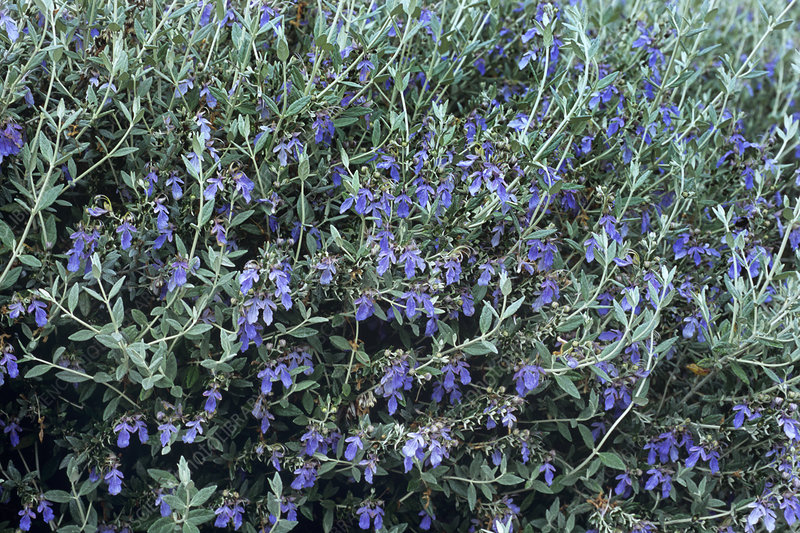 Tree germander (Teucrium fruticans)