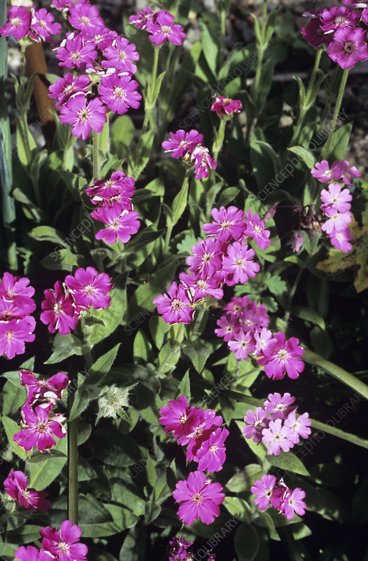 Flower of Jove (Lychnis flos-jovis)