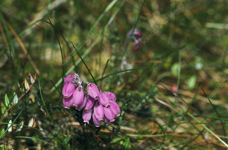 Cross-leaved heath flower