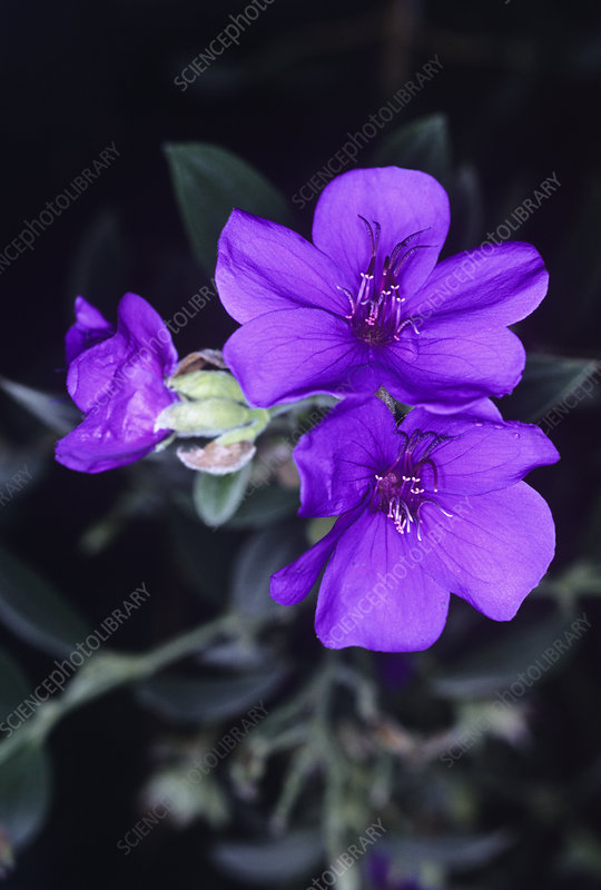 Princess flower (Tibouchina semidecandra)