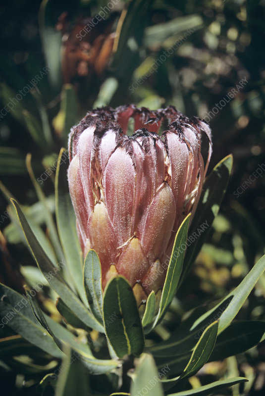 Grey-leaved bearded protea