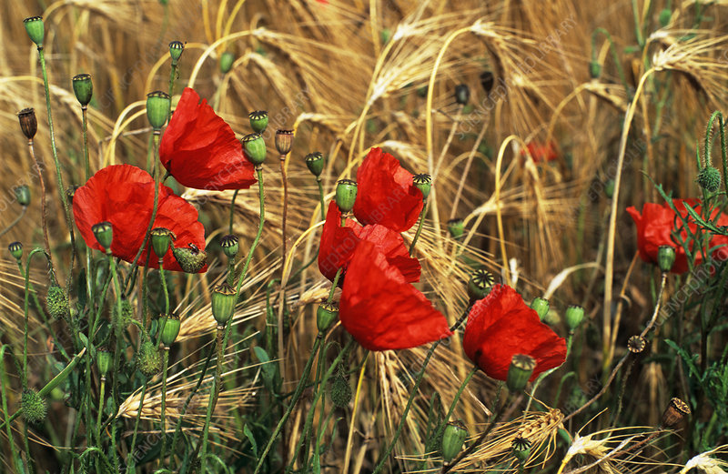 Corn poppy flowers