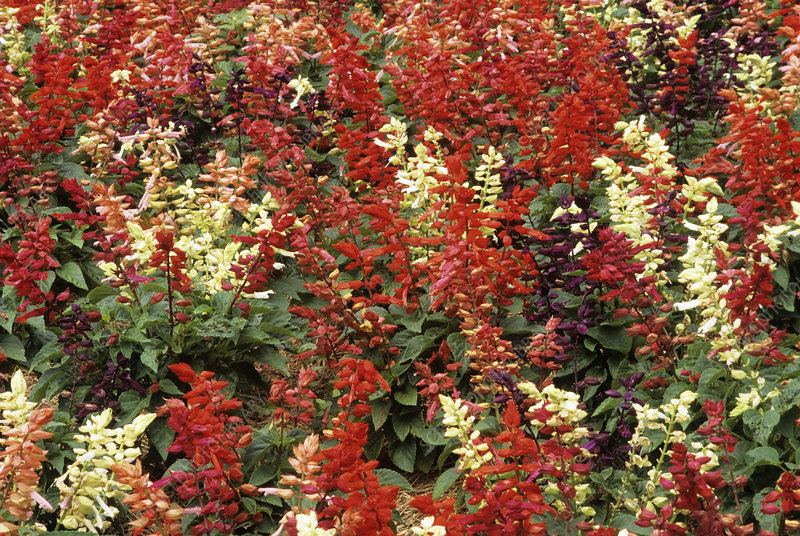 Sage flowers (Salvia 'Series Red Vista')