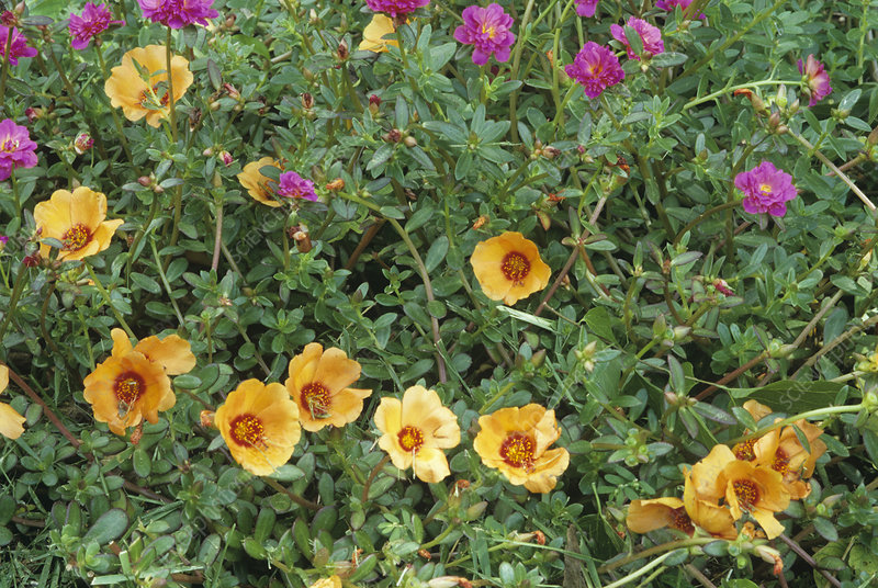 Moss rose (Portulaca 'Double Yubi Rose')