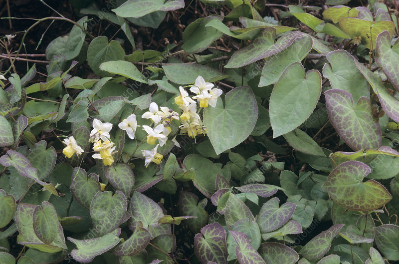 Barrenwort (Epimedium x versicolor)
