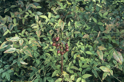 Heavenly bamboo (Nandina domestica)