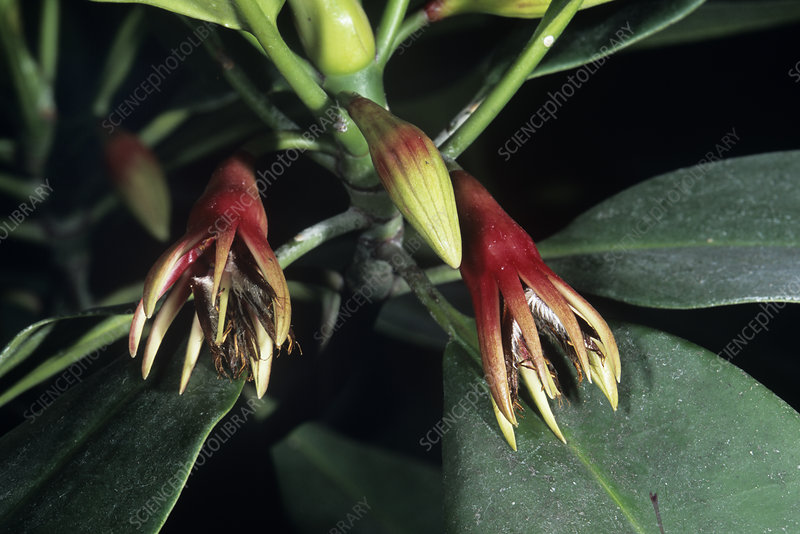 Black mangrove flowers (Bruguiera sp.)