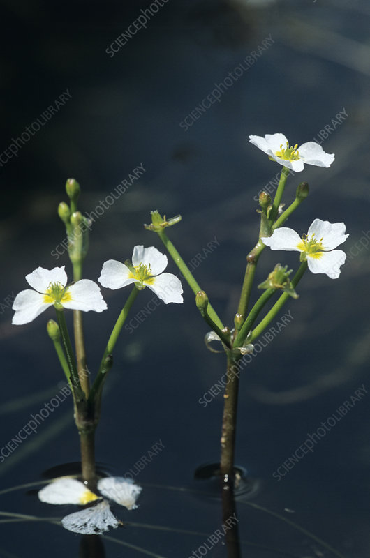 Starfruit flowers (Damasonium alisma)