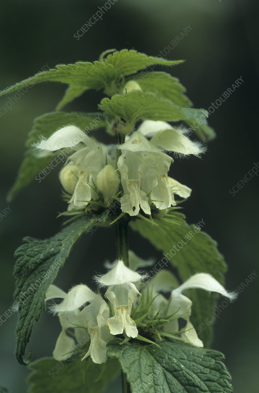 White dead-nettle flowers (Lamium album)
