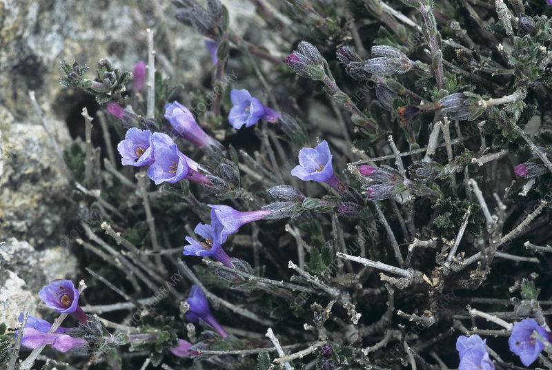 Gromwell flowers (Lithodora hispidula)