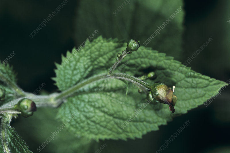 Balm-leaved figwort (Scrophularia sp.)