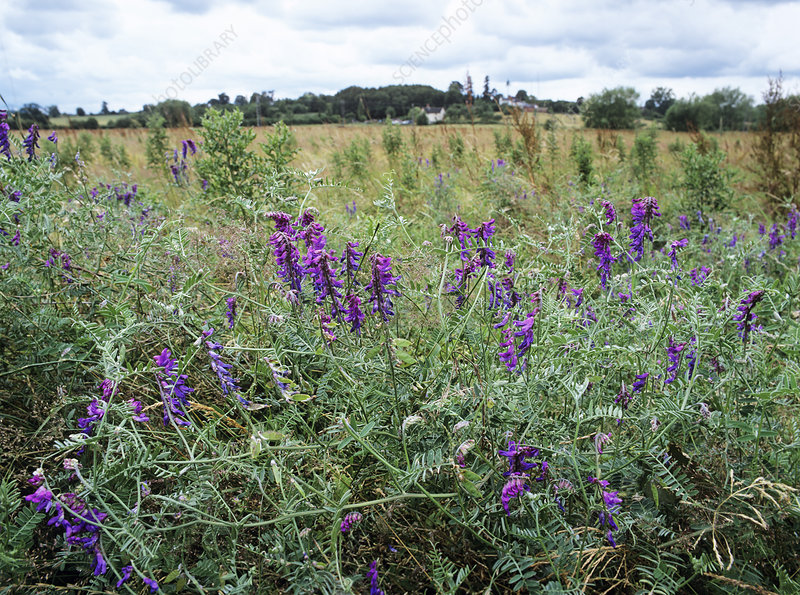 Tufted vetch flowers (Vicia cracca)