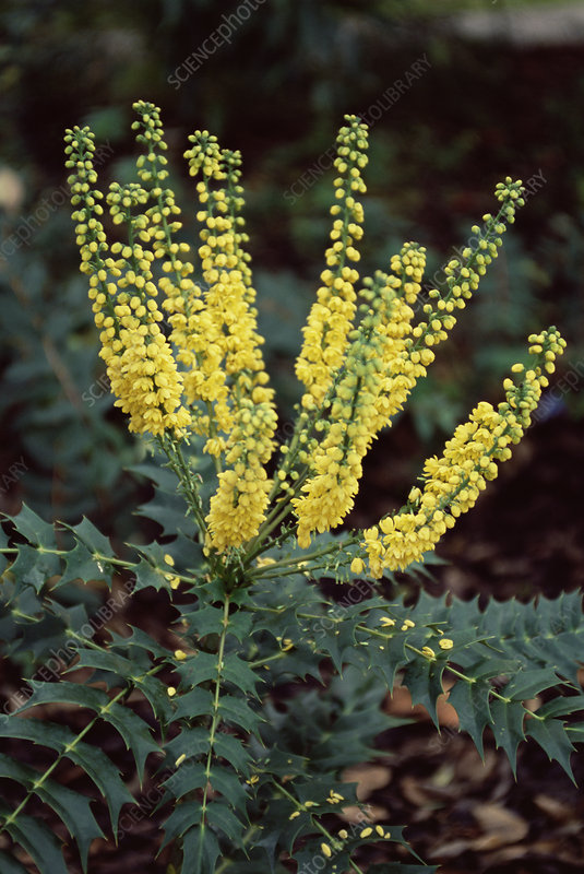 Mahonia media 'Charity' flowers