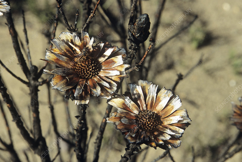 Burnt protea flowers