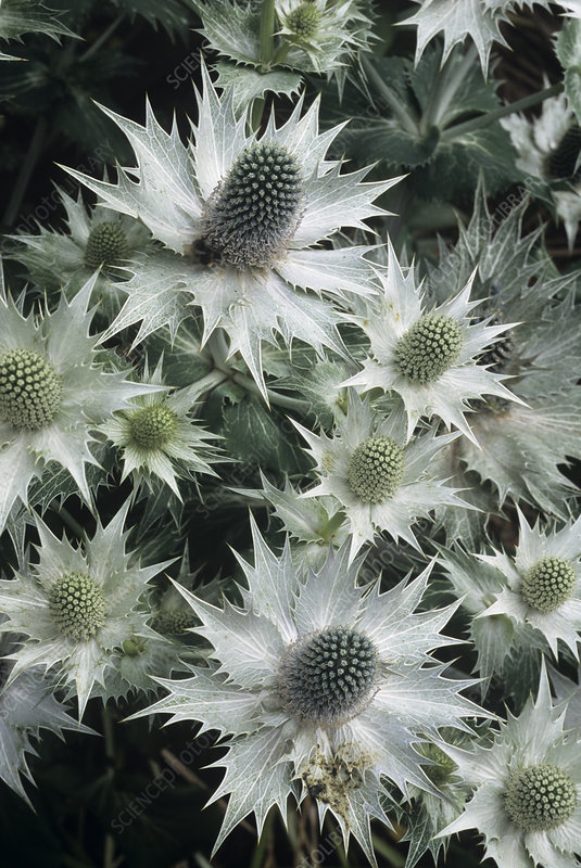 Sea holly 'Miss Willmott's Ghost' flowers