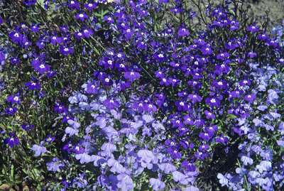 Lobelia 'Sapphire' and 'Cambridge Blue'