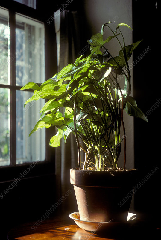 Phototropism in a Houseplant
