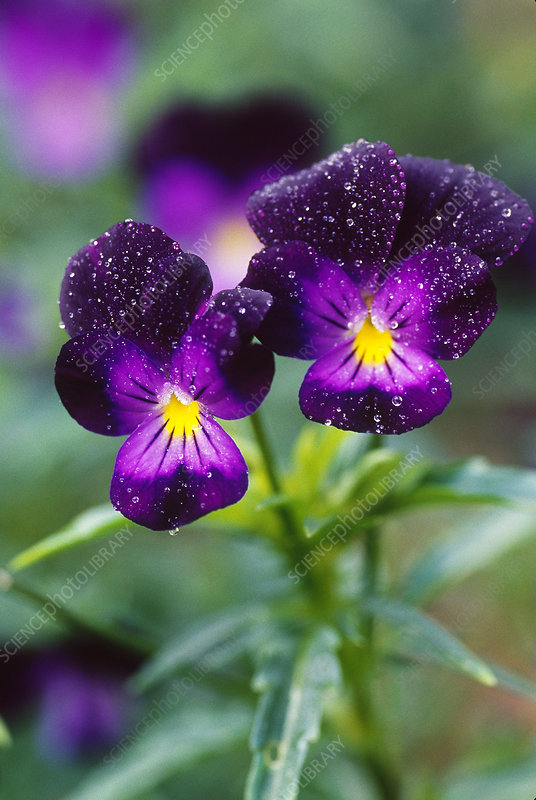 Purple Pansies in the Rain
