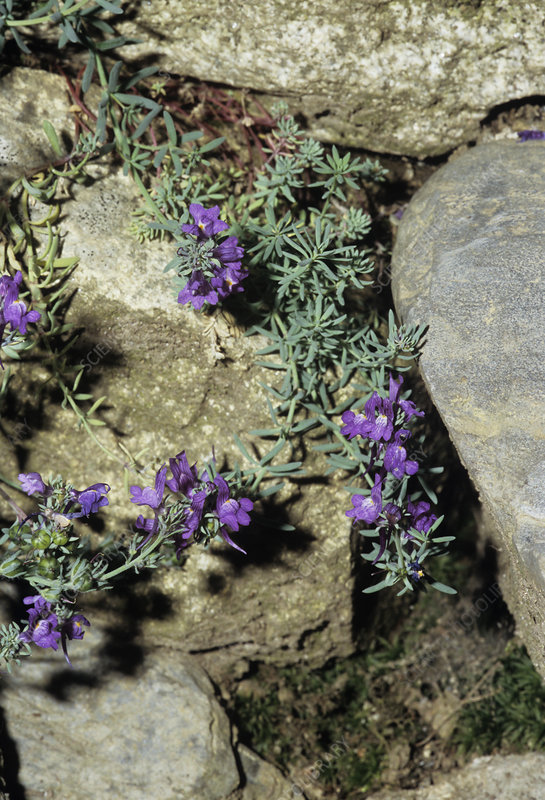 Alpine toadflax flowers