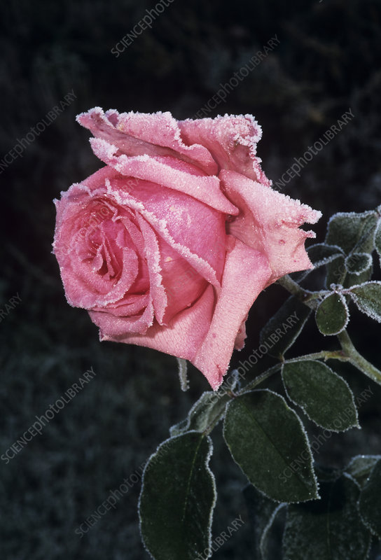 Rose 'Meissa' flower