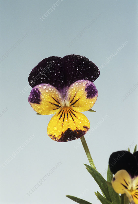 Heartsease flower