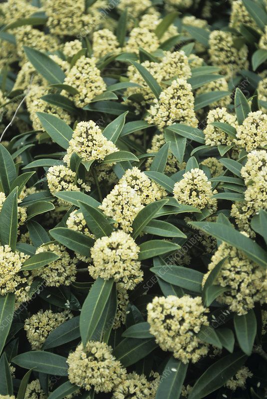 Japanese skimmia 'Kew Green' flowers