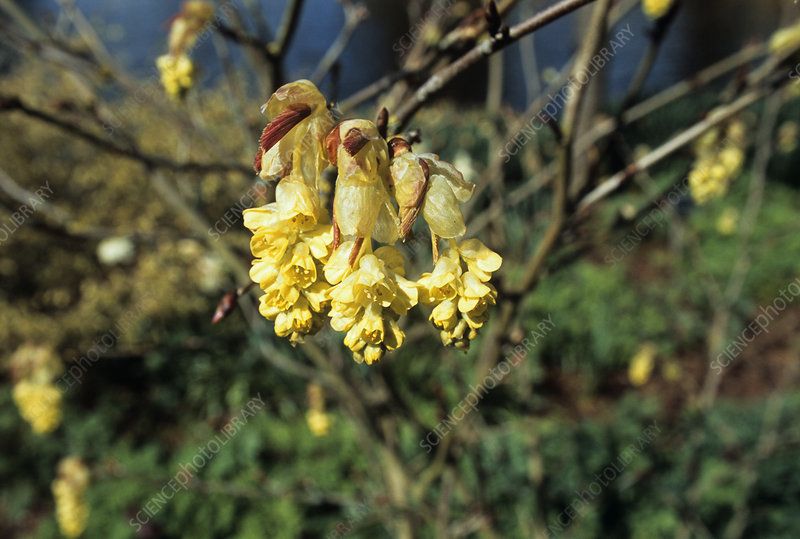 Chinese Winter Hazel Flowers Stock Image B590 1065 Science