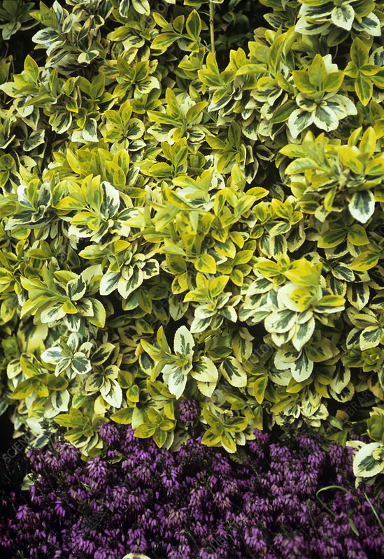 Spindle tree 'Emerald and Gold' foliage