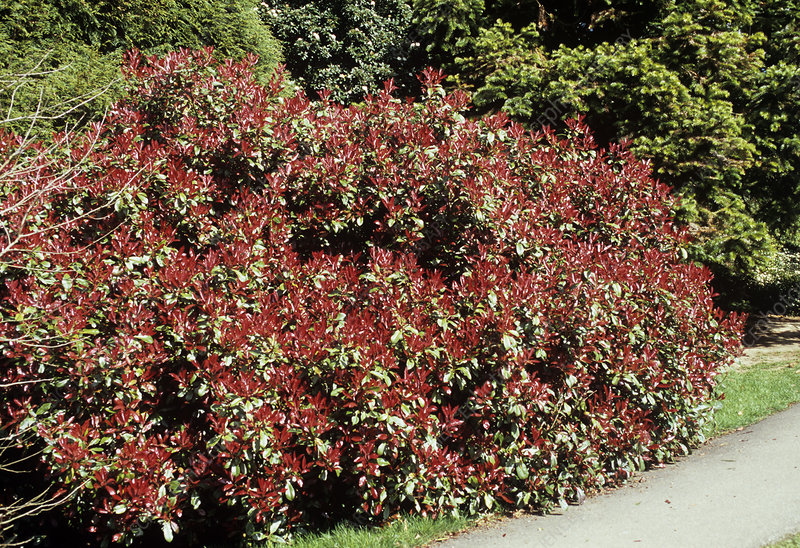 Photinia 'Red Robin' foliage