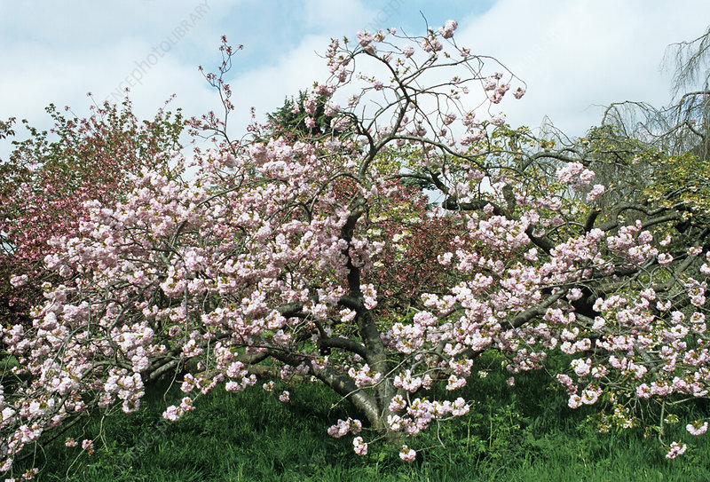 Cherry 'Oshokun' tree in blossom