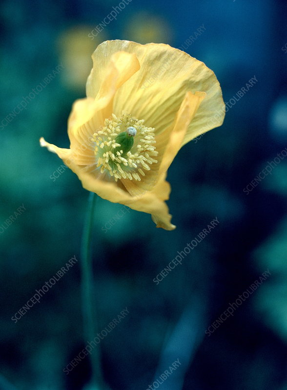Corn poppy flower