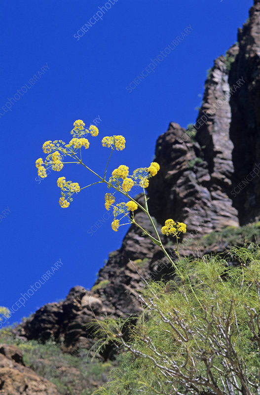 Canary giant fennel flowers
