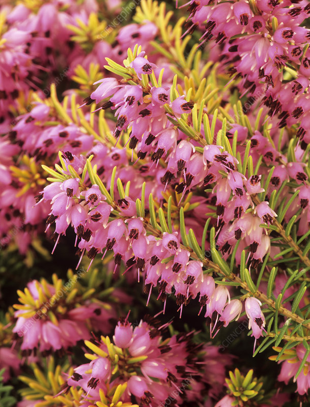 Heather 'Mary Helen' flowers