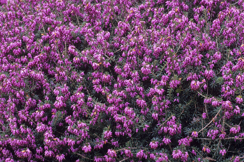 Heather 'Queen Mary' flowers