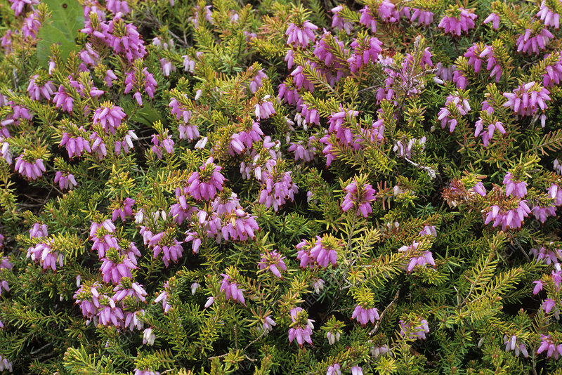 Heather 'Foxhollow' flowers