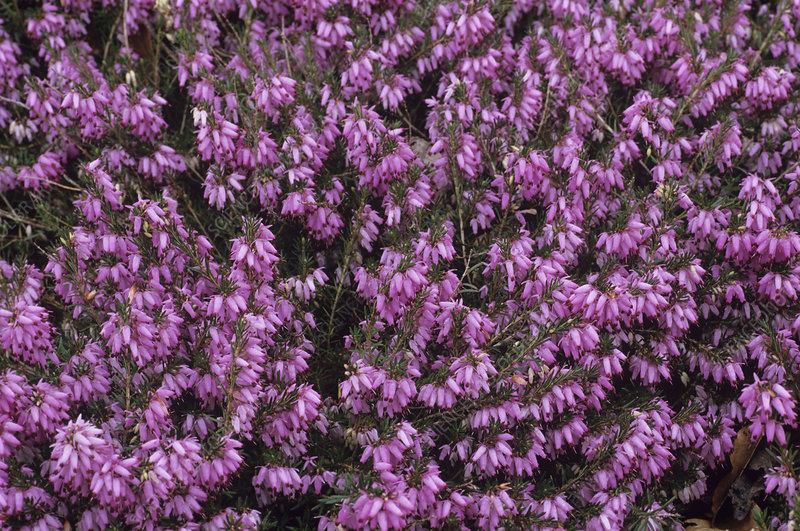 Heather 'James Backhouse' flowers