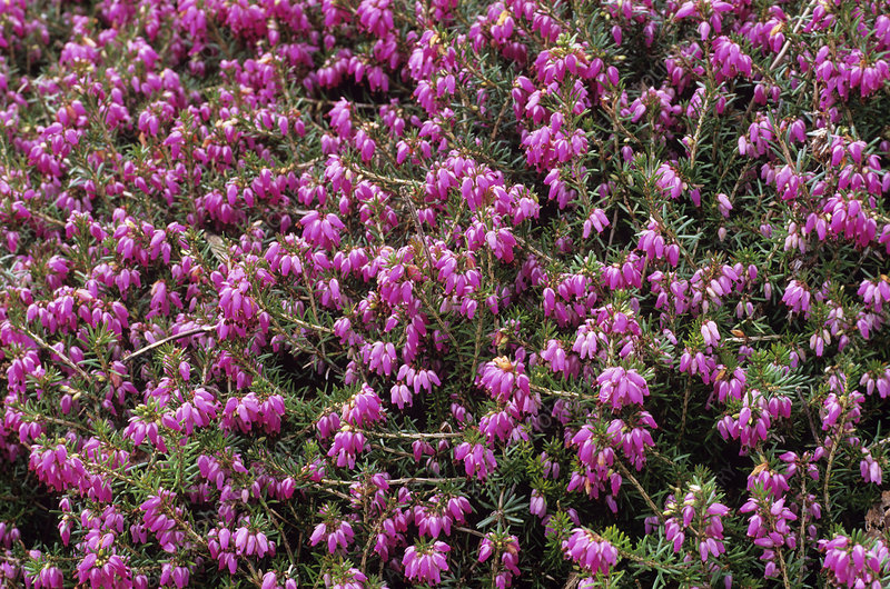 Heather 'Rosy Gem' flowers