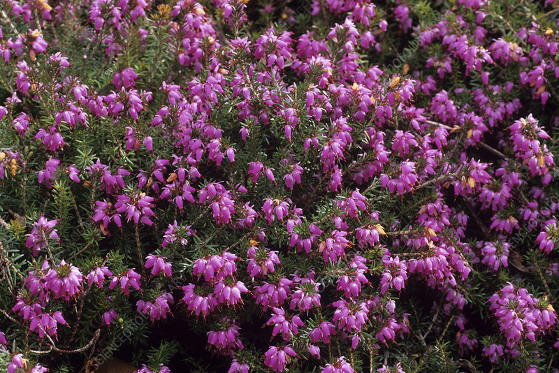 Heather 'Heathwood' flowers