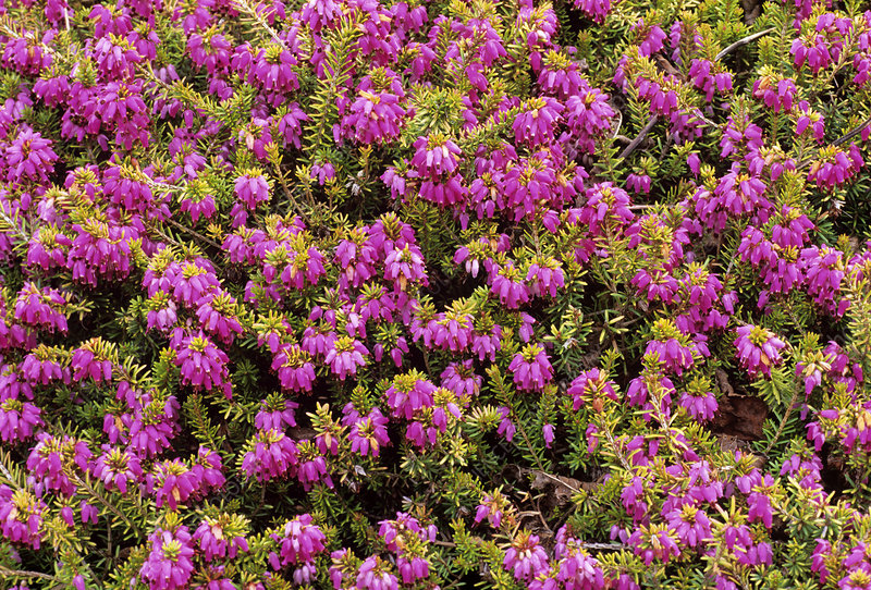 Heather 'King George' flowers