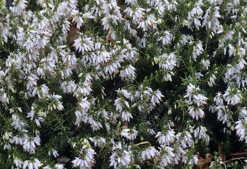 Heather 'Springwood White' flowers