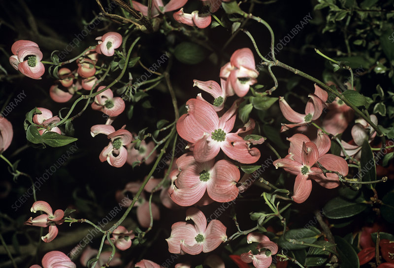 Flowering dogwood 'First Lady' flowers