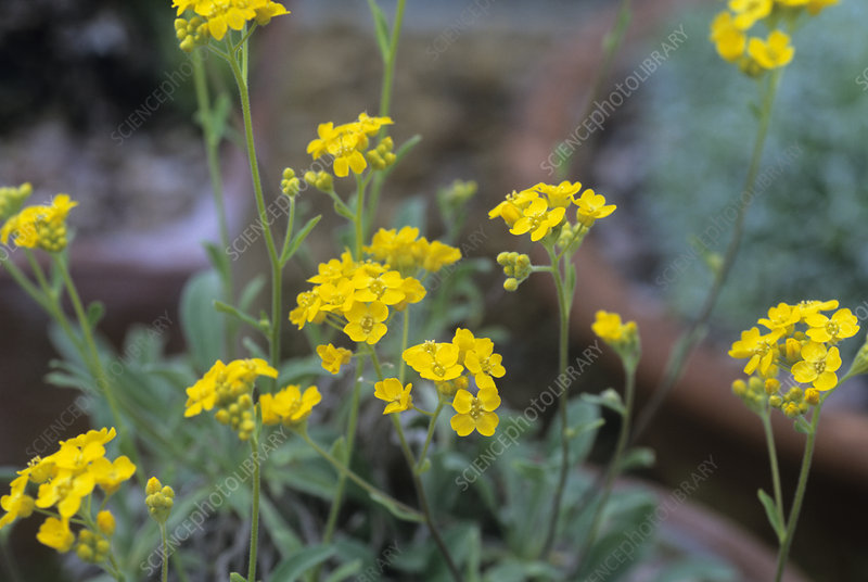 Basket-of-Gold 'Compacta' flowers