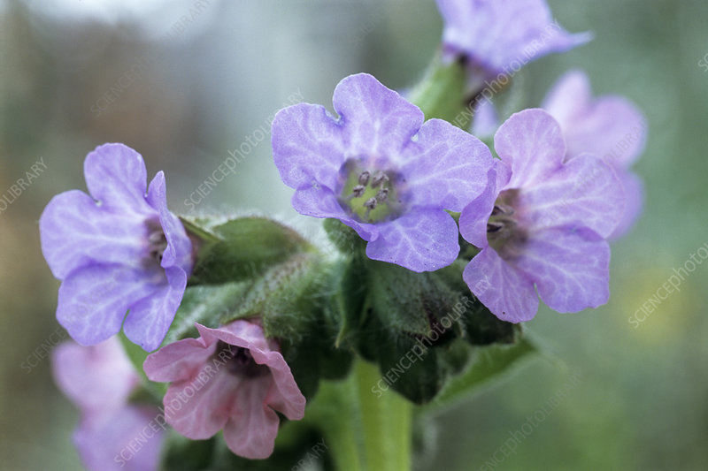 Lungwort (Pulmonaria 'Mrs Moon' flowers)