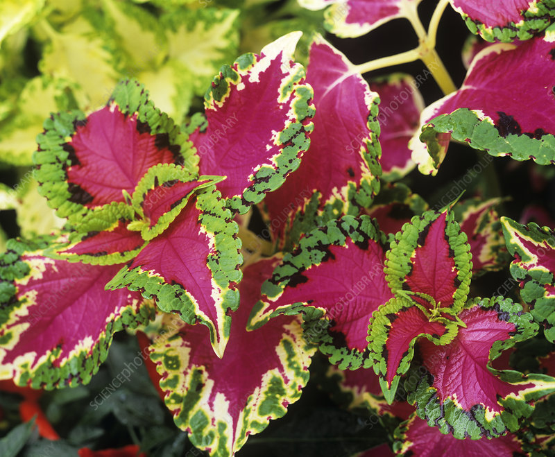 Flame nettle foliage (Coleus sp.)