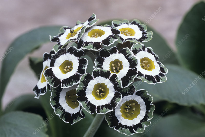 Show auricula 'Serenity' flowers