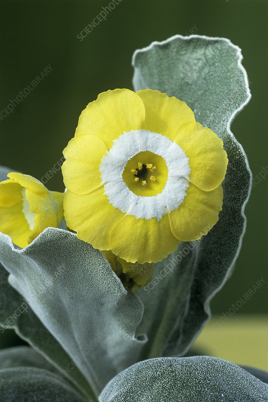 Show auricula 'Moneymoon' flower