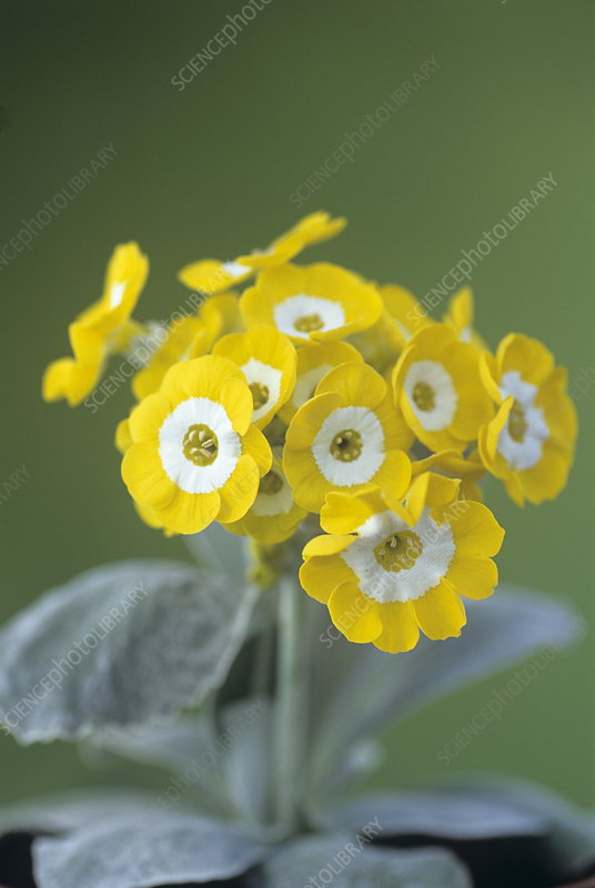Show auricula 'Golden Fleece' flowers